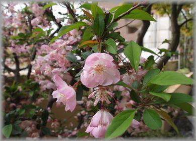 260407桜.jpg